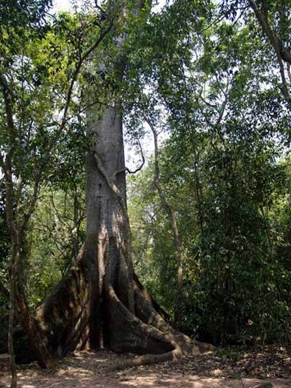 kapok-tree-58K.jpg