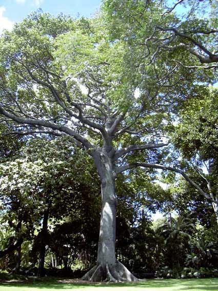 kapok-tree-68K.jpg