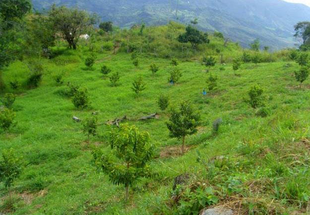 Annona-muricata-Graviola-coltivazione-86K.jpg
