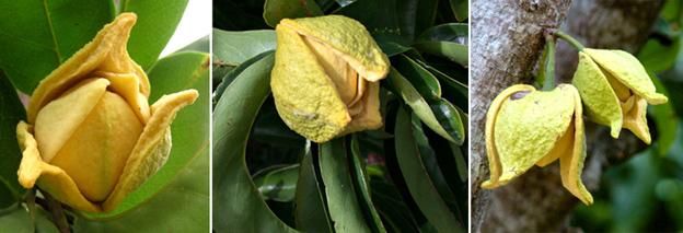 Annona-muricata-Graviola-fiori-142K.jpg