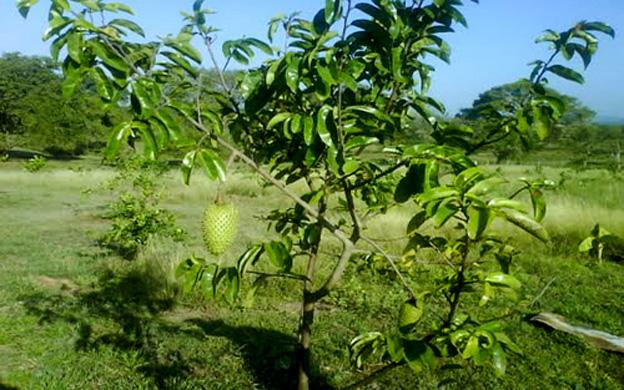 Annona-muricata-Graviola-pianta-130K.jpg