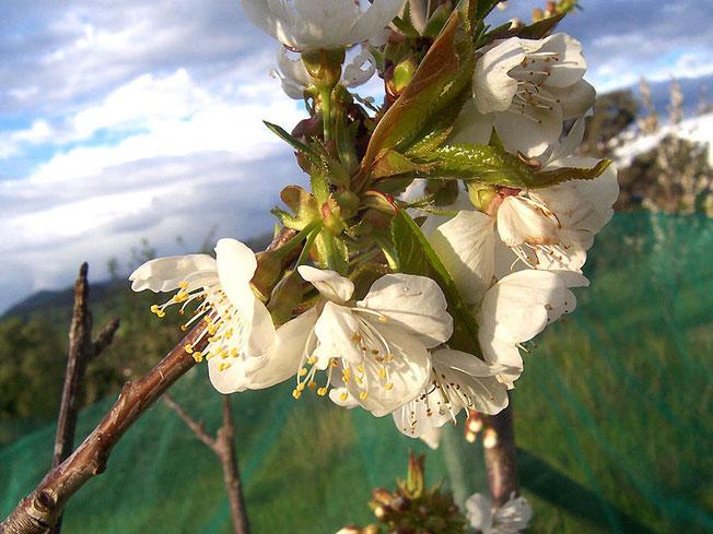 Cherry_flowers--fiori-di-ciliegio-Pianeta-Terra-83,14K.jpg